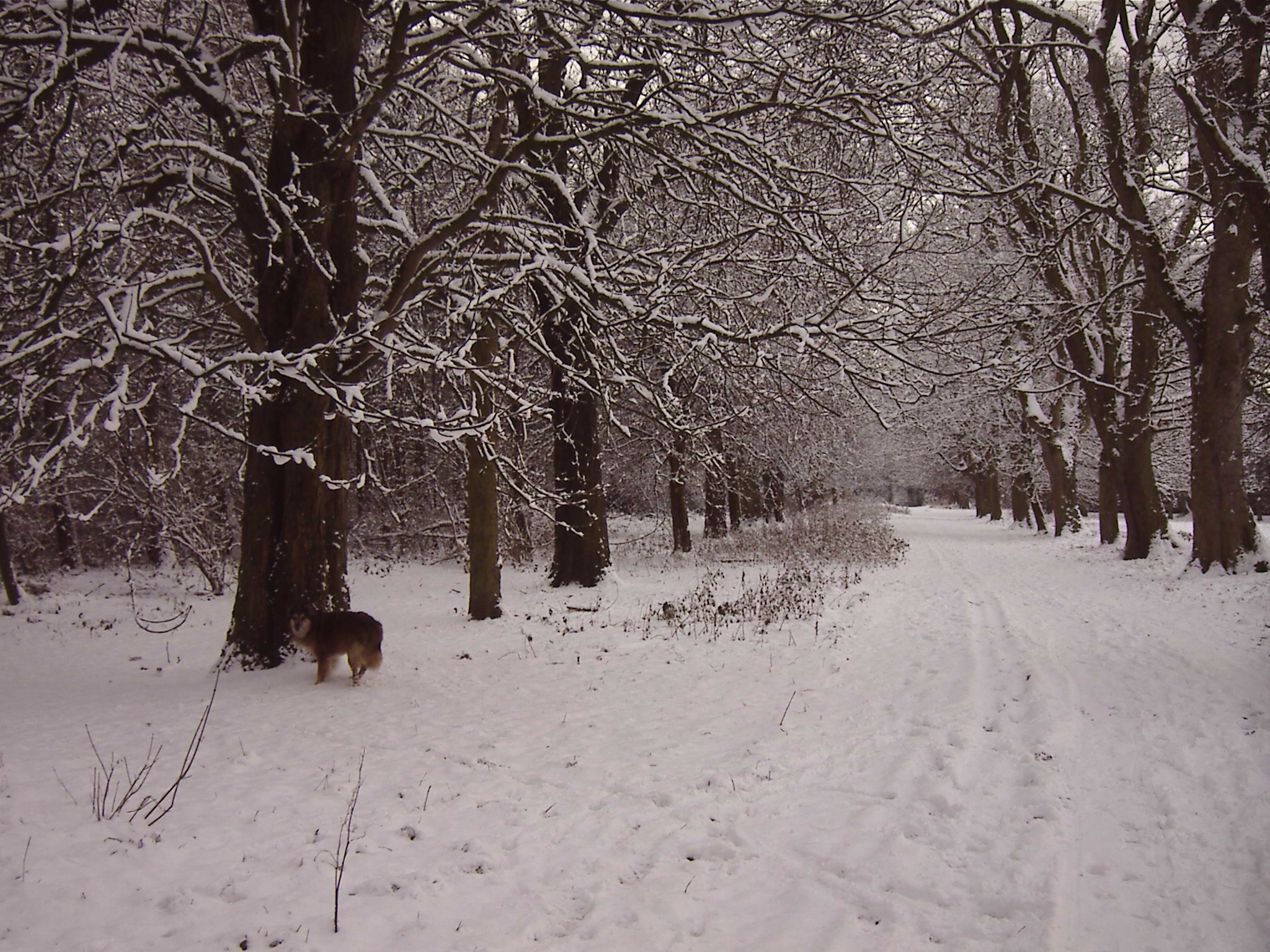 Max and Avenue of Snow 1 - Clarks Gardens Woolton 18th December 2010